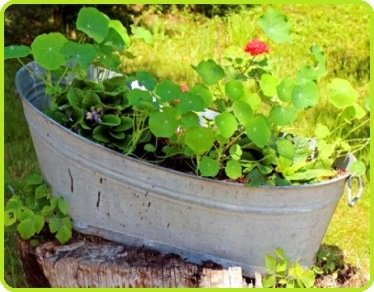 nasturtiums in tub