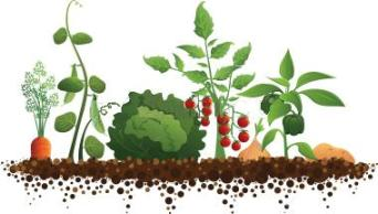 Growing vegetables without tilling