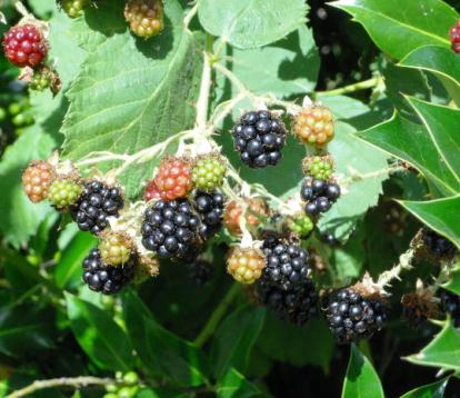 How to kill blackberry weeds