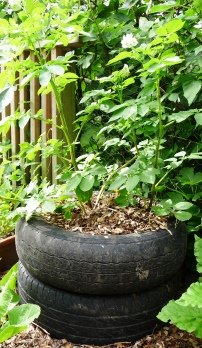 Growing potatoes in tires or tyres