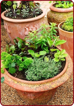 terracota pots with veg