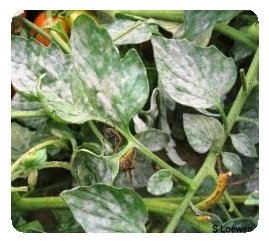Controlling plant diseases, powdery mildew on tomatoes