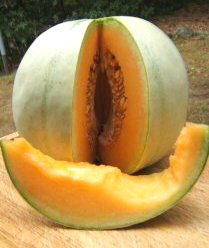 Saving Vegetable Seeds - Melons-cantaloupe
