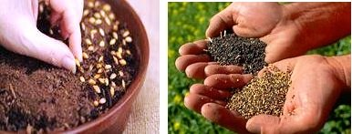 Saving seeds, holding in hands and planting seeds