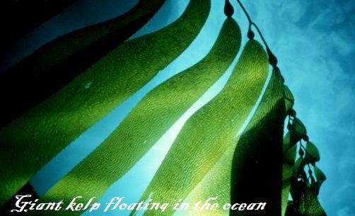Seaweed for fertilizing garden - Giant kelp