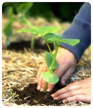 planting vegetable seedlings in compost and straw