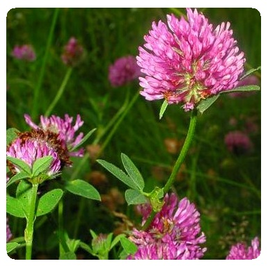 Red clover for slug control