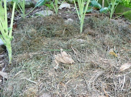 Smothering grass weeds with mulch