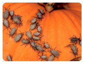 Squash bugs on pumpkin