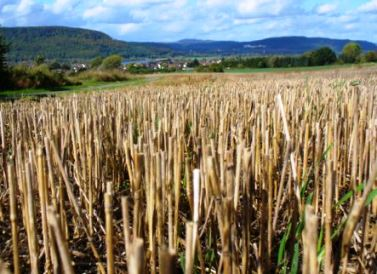 stalks left from straw harvesting