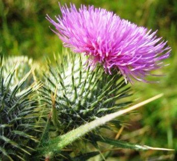 thistle - How to kill weeds naturally