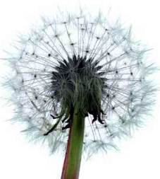 Weeds - dandelion seed head