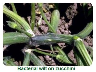 Controlling plant diseases, Bacterial wilt on zucchini