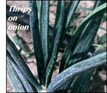 Onion pests – thrips