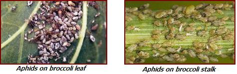 broccoli pests - aphids