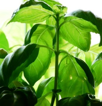 basil plant for pesto