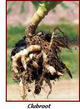 clubroot in broccoli