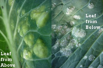 Brocolli disease - what has it got?