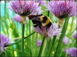 chive flowers and bee