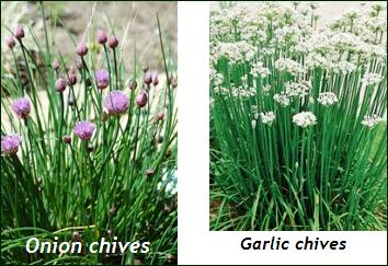 chive varieties – how to grow chives