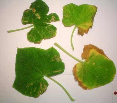 cucumber leaves dying from bottom up yellowing/brown spots