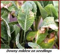 downy mildew on seedling leaves