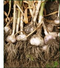growing garlic plants in garden