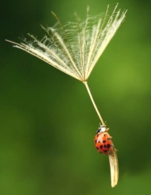 ladybug flying on a seed