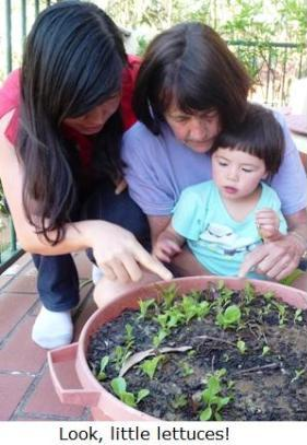 Lettuce seedlings in container - Gina, Megan, Jessie