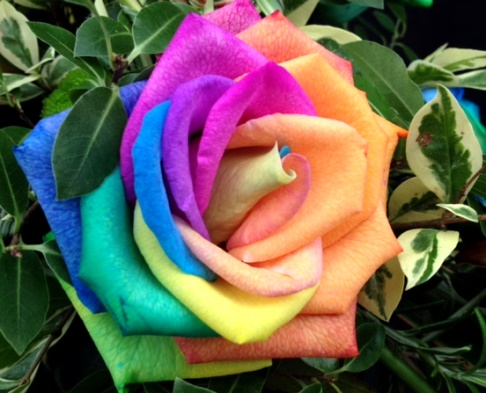 multicoloured rose-Hampshire