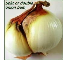 onion-bulb split – how to grow onions