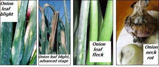 Onion diseases-botrytis
