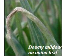 Onion diseases-downy mildew