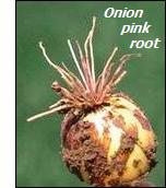 Onion diseases-pink root