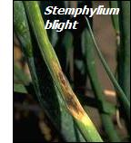 Onion diseases-stemphylium blight