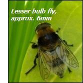 Onion pests – lesser bulb fly