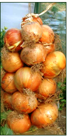 growing onions – braided onions drying