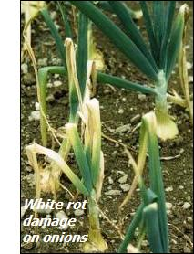 Onion diseases-white rot damage