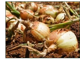 growing onions – maturing in field