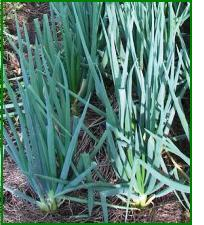 conditions for growing spring onions
