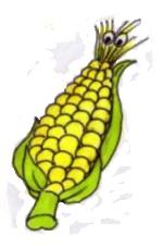 Growing sweet corn - sweet corn cob