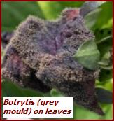 botrytis or grey mould on leaf