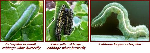 broccoli pests - caterpillars, cabbage worms, cabbage loopers, eggs