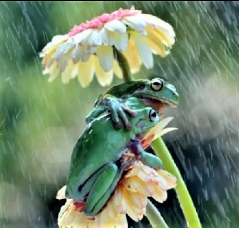 Frogs sheltering from rain