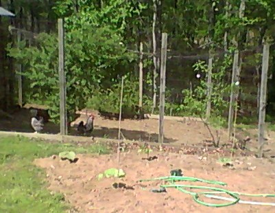 Jack beans planted