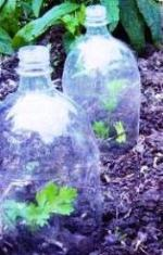 bottle cloches to keep seedlings warm